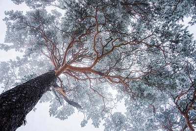 Perspective Photograph - Winter Tree Lines by Ales Krivec