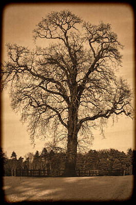 Photograph - Winter Tree - Old by Nick Field