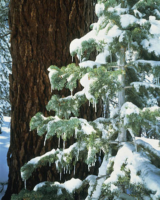 Winter Tree Sierra Nevada Mts Ca Usa Print by Panoramic Images