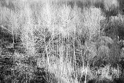 Photograph - Winter Trees B And W 4 by Roena King