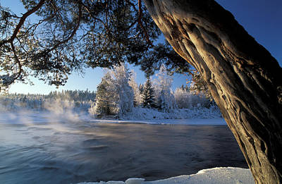 White Pines Photograph - Winter Trees River Sweden by Panoramic Images