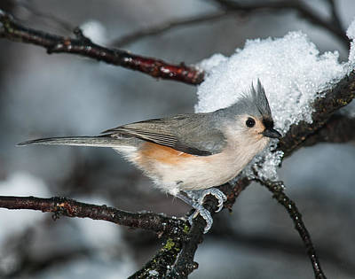 Tufted Titmouse Photograph - Winter  Tufted Titmouse by Lara Ellis