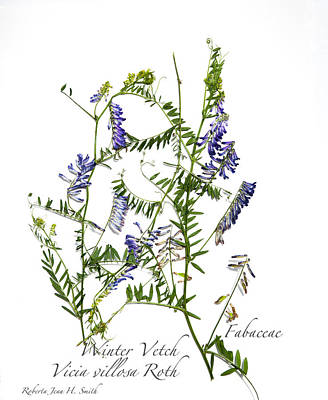 Photograph - Winter Vetch by Roberta Jean Smith