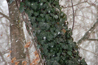 Photograph - Winter Vine by Aimee L Maher Photography and Art Visit ALMGallerydotcom