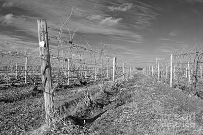Photograph - Winter Vines In Back And White by William Norton