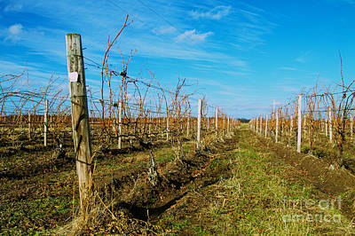 Photograph - Winter Vines by William Norton