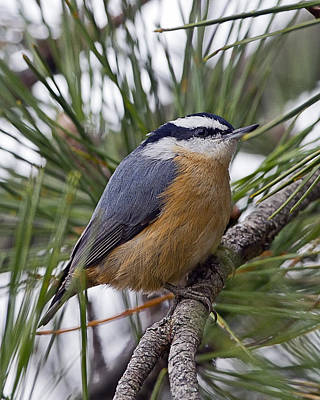 Winter Visitor - Red Breasted Nuthatch Art Print
