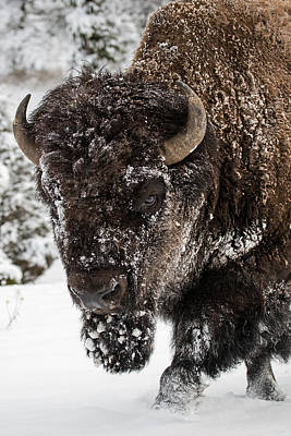 Bison Photograph - On The Road Again by Sandy Sisti