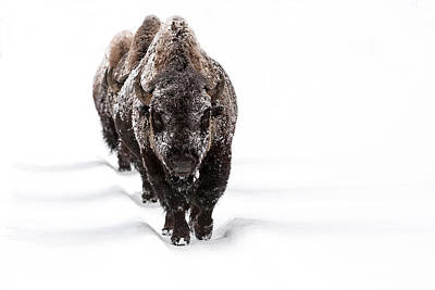 Bison Photograph - Winter Warriors by Sandy Sisti