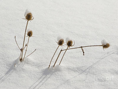 Photograph - Winter Weeds by Mark Avery
