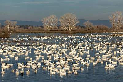 California Wildlife Photograph - Winter White On A Blue Lake by Kathleen Bishop