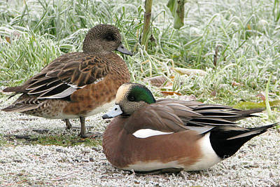 Photograph - Winter Wigeons by Frank Townsley