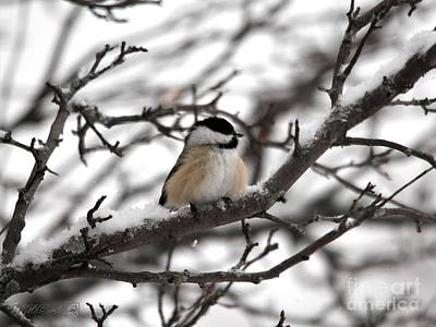 Photograph - Winter Windblown Black-capped Chickadee by J McCombie