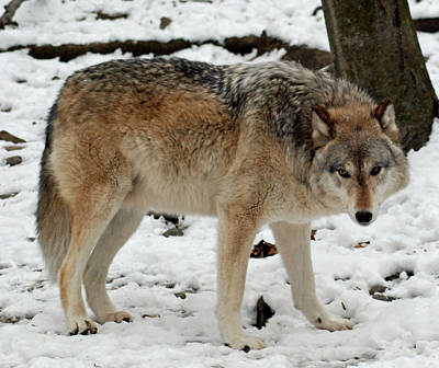 Photograph - Winter Wolf In The Snow by Richard Bryce and Family