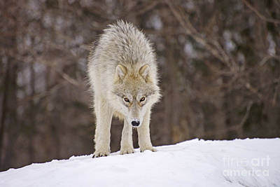 Photograph - Winter Wolf by Joshua McCullough