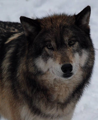 Photograph - Winter Wolf by Richard Bryce and Family