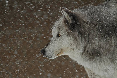 Photograph - Winter Wolf by Steve McKinzie