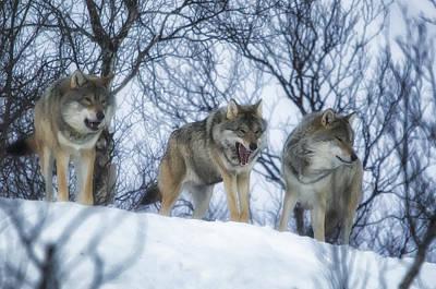 Winter Wolves Art Print