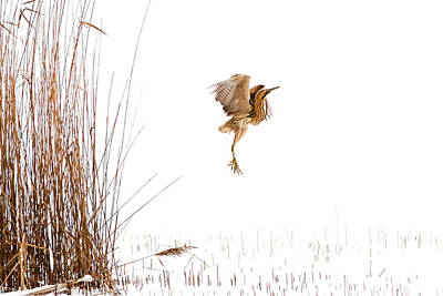 Winter Wonder Dance - Eursian Bittern In The Snow Art Print
