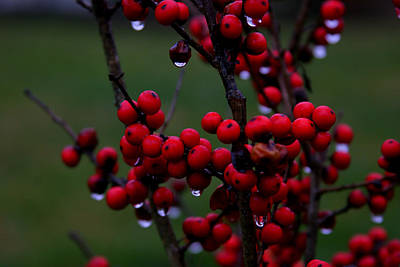 Winterberry Bush After The Rain Number 1 Art Print