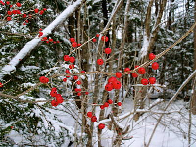Winterberry Art Print