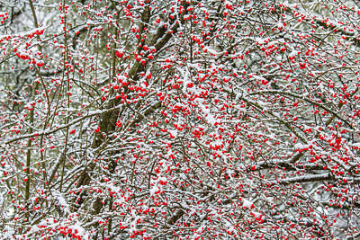Photograph - Winterberry During A Snowfall by Steven Schwartzman