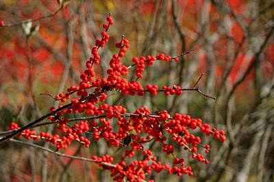 Photograph - Winterberry by Living Color Photography Lorraine Lynch