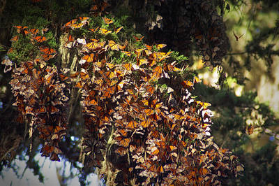 Photograph - Wintering Monarchs In Pacific Grove California by Mary Lee Dereske