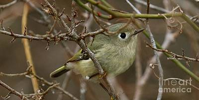 Ruby-crowned Kinglet Birds Photograph - Wintering Ruby-crowned Kinglet by Mark Pagliarini