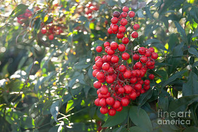 Art Print featuring the photograph Winter's Berries by Lena Wilhite
