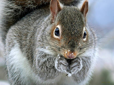 Rollos Photograph - Cute Winter Squirrel by Christina Rollo