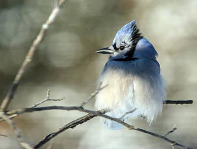 Photograph - Winter's Jay by Linda Shannon Morgan