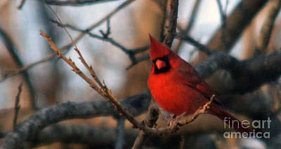 Colorful People Abstract Royalty Free Images - Northern Cardinal Red Beauty  Royalty-Free Image by Barb Dalton