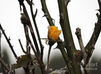 Photograph - Winter's Rose by Erica Hanel