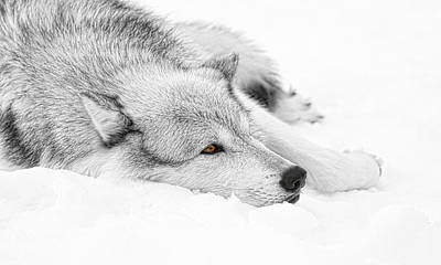 Photograph - Winters Wolf by Steve McKinzie