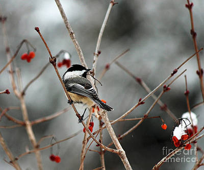 Wintertime Chickadee Art Print