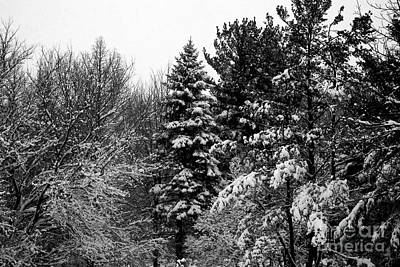 Frank J Casella Royalty-Free and Rights-Managed Images - Wintery Forest Pine by Frank J Casella