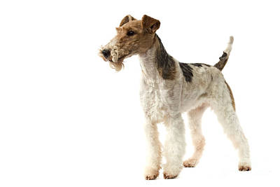 Wire Fox Terrier Art Print by Jean-Michel Labat