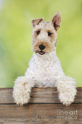 Wire Fox Terrier Art Print by John Daniels