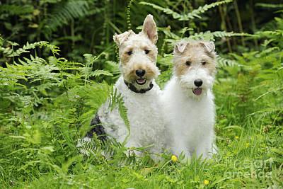Wire Fox Terriers Art Print by John Daniels