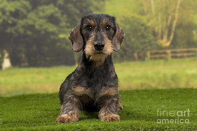 Dachshund Puppy Photograph - Wirehaired Dachshund by Jean-Michel Labat