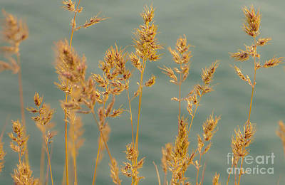 Photograph - Wispy Grass by Sarah Crites