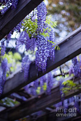 Wisteria Photograph - Wisteria Beams by Mike Reid