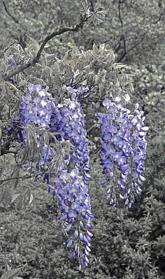 Photograph - Wisteria Blossom Cluster Abstract -- Version 2 by Byron Varvarigos