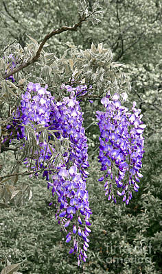 Photograph - Wisteria Blossom Clusters Abstract by Byron Varvarigos