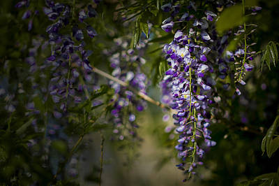 Photograph - Wisteria by Bob Decker