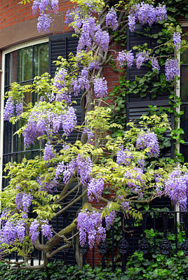 Photograph - Wisteria Boston by Caroline Stella