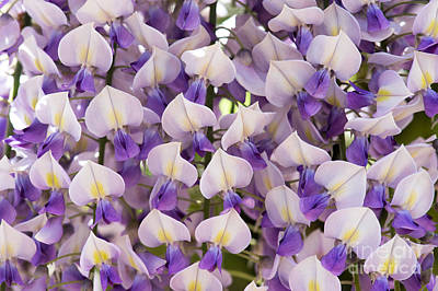 Floribunda Photograph - Wisteria Floribunda Domino by Tim Gainey