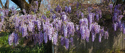 Sonoma County Photograph - Wisteria Flowers In Bloom, Sonoma by Panoramic Images