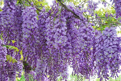 Photograph - Wisteria Full Bloom by Michael Hubley